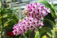 Rhynchostylis gigantea purple with botch white color blooming. Royalty Free Stock Photos