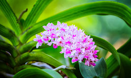Rhynchostylis gigantea shine color in a flower garden Royalty Free Stock Image