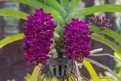 Rhynchostylis gigantea var red orchids , Genus is Rhynchostylis. Stock Photo