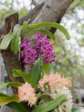 Rhynchostylis gigantea wild orchid Royalty Free Stock Images