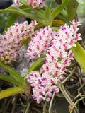 Rhynchostylis gigantea wild orchid Royalty Free Stock Photos