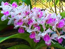 Rhynchostylis giganteaorkidé Sällsynt Orchid arkivfoto