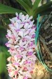 Rhynchostylis giganteaorkidér som blommor blommar i vår, smyckar skönheten av naturen royaltyfria bilder