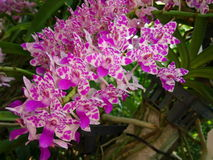 Rhynchostylis orchid Royalty Free Stock Photo