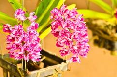 Rhynchostylis orchidea zdjęcia stock