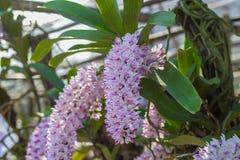Rhynchostylis, Orchideebloem in de tuin, aardachtergrond of behang Royalty-vrije Stock Foto
