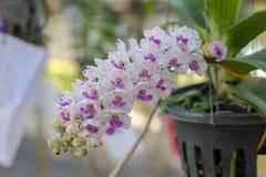 Rhynchostylis, Orchideebloem in de tuin, aardachtergrond of behang Royalty-vrije Stock Afbeeldingen