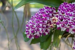 Rhynchostylis, Orchideebloem in de tuin, aardachtergrond of behang Royalty-vrije Stock Foto's