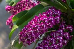 Rhynchostylis, Orchideenblume im Garten, im Naturhintergrund oder in der Tapete Stockbild