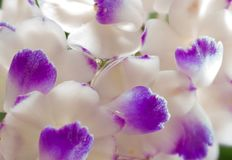 Rhynchostylis retusa orchid is white and pink flowers stock images