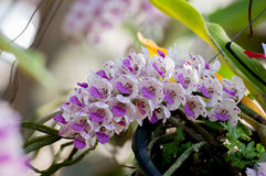 Rhynchostylis retusa Orchids Royalty Free Stock Image