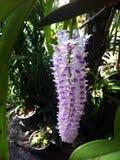 Rhynchostylis retusa, orkidé Royaltyfria Bilder