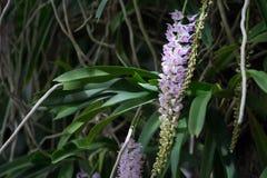 Rhynchostylis retusa w białej i purpurowej orchidei Zdjęcia Royalty Free