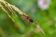 Rhynocoris iracundus. Is a species of assassin and thread-legged bugs belonging to the family Reduviidae, subfamily Harpactorinae Royalty Free Stock Photography