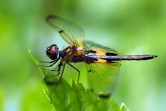 rhyothemis de phyllis de libellule Images libres de droits