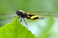 Rhyothemis phyllis dragonfly Royalty Free Stock Image