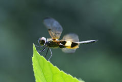 Rhyothemis phyllis dragonfly Royalty Free Stock Photo