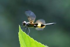 Rhyothemis phyllis Libelle Lizenzfreies Stockfoto