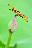 蜻蜓(Rhyothemis variegata arria) 库存图片
