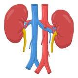 riñones Imagen de archivo libre de regalías