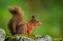 Ri scoiattolo Immagini Stock Libere da Diritti