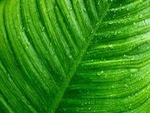 Rian droppe på det gröna bladet Arkivbild
