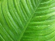 Rian droppe på det gröna bladet Arkivfoto