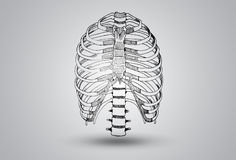 Rib Articulation Illustration Royaltyfri Foto