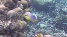 Rib butterflyfish swimming in a coral reef. A rib butterflyfish swimming in a coral reef stock footage