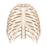 Rib Cage Royalty Free Stock Photography