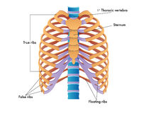 Rib cage. Simplified illustration of the rib cage stock illustration