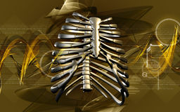 Rib cage Royalty Free Stock Image