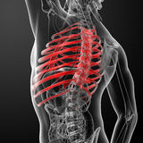 Rib cage Stock Images