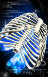 Rib cage Royalty Free Stock Photo