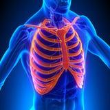 Rib Cage Anatomy Bones with Circulatory System stock illustration