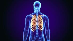 3d illustration of human body Rib cage anatomy