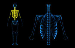Rib cage, back bone and humerus Royalty Free Stock Photo