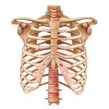 Rib cage bones. Human skeletal system. Anatomy. Vector illustration isolated on a white background vector illustration