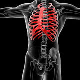 Rib cage Royalty Free Stock Photos