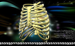 Rib cage Royalty Free Stock Images