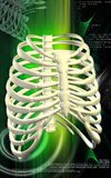 Rib cage Stock Photos