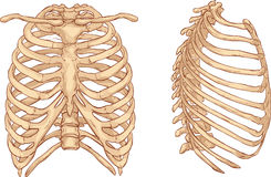 Rib cage illustration Royalty Free Stock Photography