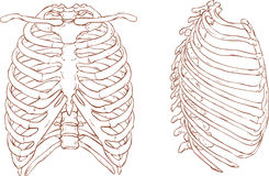 Rib cage illustration Stock Image