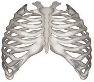 Rib cage. Illustration of the rib cage on a white background Stock Photography
