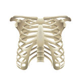 Rib cage isolated on white vector Royalty Free Stock Photography