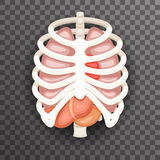 Rib Cage Lungs Heart Liver Stomach Iinternal Organs Icons and Symbols Retro Cartoon Design Vector Illustration Royalty Free Stock Photos