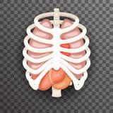 Rib Cage Lungs Heart Liver-van de Organenpictogrammen en Symbolen van Maagiinternal Retro Vectorillustratie van het Beeldverhaalo Royalty-vrije Stock Foto's