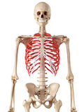 The rib cage Royalty Free Stock Images