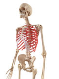 The rib cage Royalty Free Stock Photo