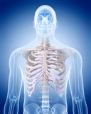 The rib cage. Medically accurate illustration of the human skeleton - the rib cage royalty free illustration